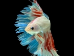Red White Blue Beta Fish