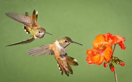 Humming-birds - green, flower, bird, humming-bird, orange, pasare, colibri