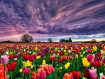 Colorful Tulips Field