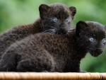 black panther kittens