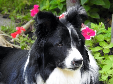 Border Collie - Dog, Summer, Border Collie, Animal, Photography