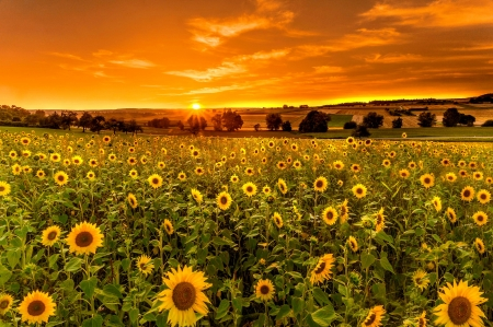 Sunset field - field, sunset, glow, landscape, golden, beautiful, amazing, fiery, flowers, sky