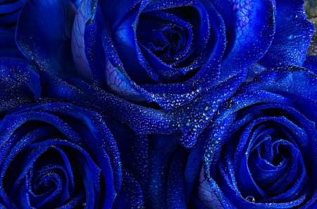 Blue roses background - wet, blue, macro, lovely, roses, flowers, beautiful, pretty, drops