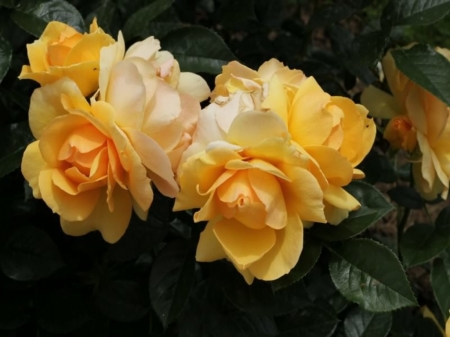 Yellow  Roses - Yellow, Natire, Roses, Pretty