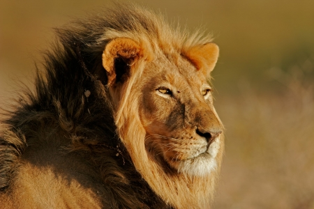 Lion - nature, king, animal, Lion