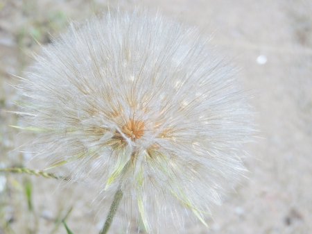 Dandelion - Flower, Dandelion, Summer, Nature, Photography