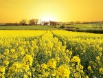 Peaceful Yellow Flower Field