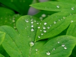 Raindrops On Summer Leaves