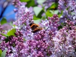 Lilacs And Wings