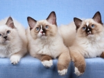 Three Rag-doll Kittens