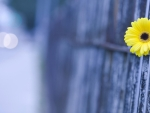 Yellow Beauty on the Fence