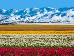 Field of flowers near the snowy mountains