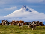 Across the Andes by cow