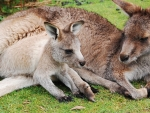 Mother Wallaby and baby in pouch