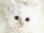 Cute White Kitty