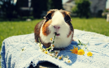 Guinea-Pig - Pig, Guinea, animal, white