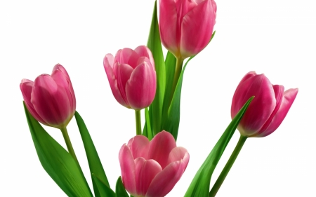 TULIPS - PETALS, COLORS, STEMS, LEAVES