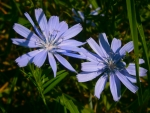 2 Pretty blue flower