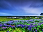 Lupin Field Near Seaside