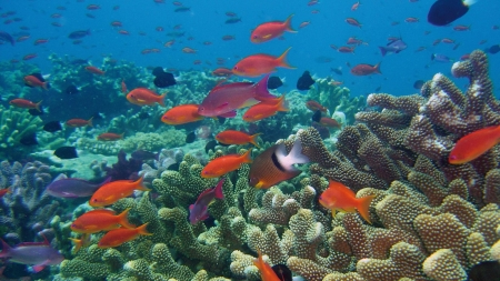 Red Fish in Coral Reef - Coral Reefs, Nature, Sea, Fish, Oceans, Ecosystems