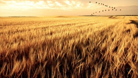 South for the Winter - harvest, Firefox Persona theme, dry, wheat, geese, grass, farm, autumn, fall, sky, late summer