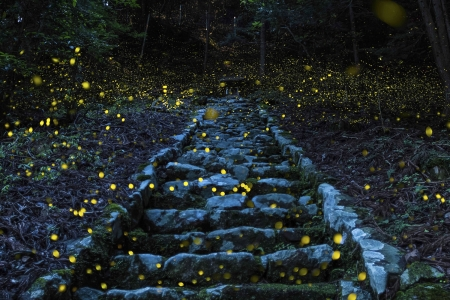Firefly time - Japan, Forest, Tamba, Fireflies