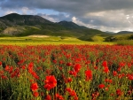 Dark clouds Above the Poppies Field