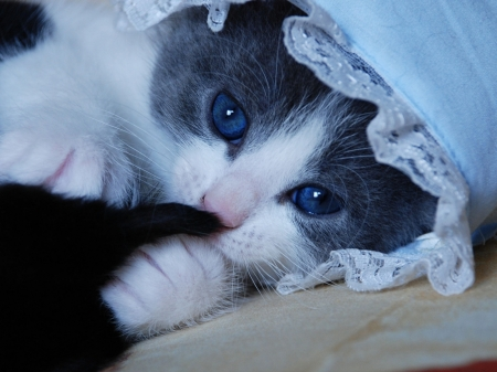 Baby Cat With Blue Eyes - animal, kitten, cat, baby, eyes, blue