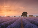 Lavender fields at the sunset