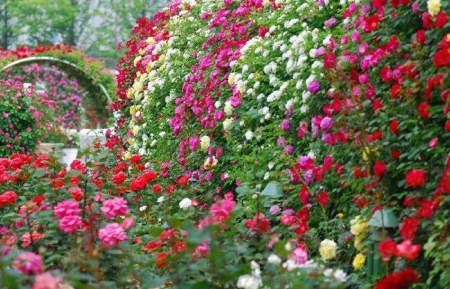 Rose garden - flowers, garden, nature, roses