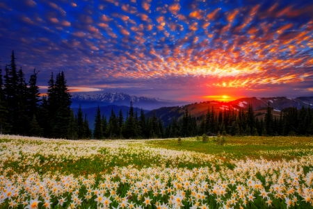 Field of avalanche lilies - field, sky, mountain, view, trees, beautiful, meadow, lilies, clouds, sunset
