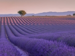 Summer Field of Purple Lavender