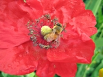 bee on a red poppy