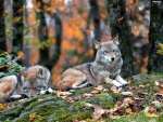 Wolves on Autumn Forest