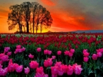 Sunset Over Tulips Field