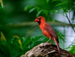 Red bird in the forest