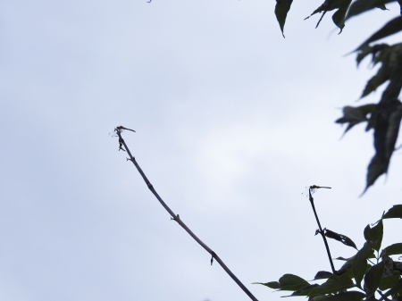 Dragonflies On Twigs - Tree, Twigs, Photography, Sky, Dragonflies