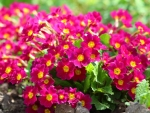 Beautiful Pink Primula Flowers
