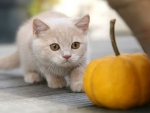 cute kitten and pumpkin