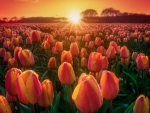 Sunset at tulips field
