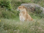 Inquisitive Lioness
