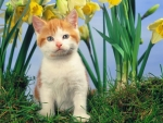 cute kitten in daffodills