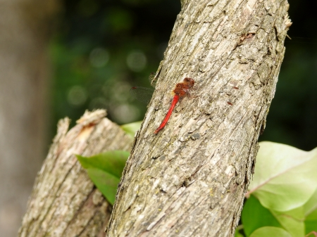 Red Dragonfly - Tree Trunk, Summer, Dragonfly, Leaves, Photography, Red