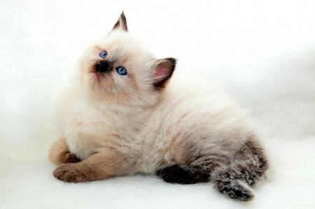 Kitten - pisica, cat, kitten, animal, cute, blue eyes