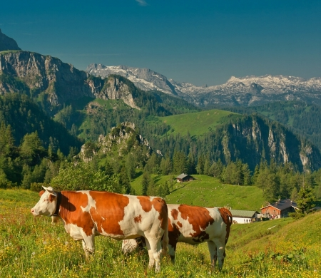 Alps near Berchtesgaden, Germany - landscape, meadow, mountains, cows