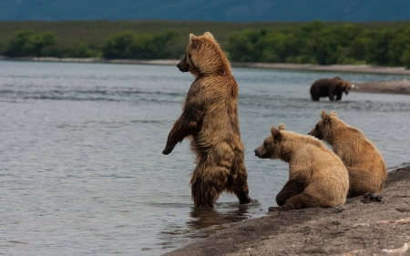 bears - bears, lake, cool, animals, fun