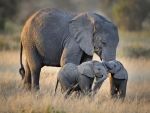 African Elephant With Twins