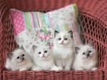 four white fluffy kittens
