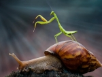 Praying Mantis and snail