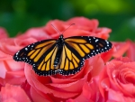 Butterfly on Pink Roses